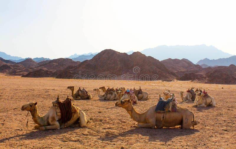 Cammelli che prendono il sole alla luce solare di sera immagine stock libera da diritti