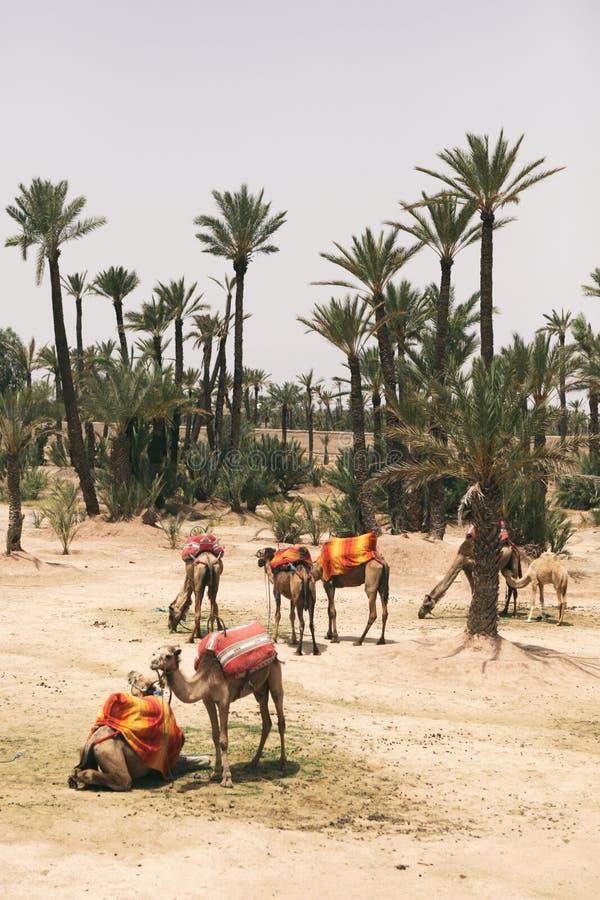 Cammelli che riposano accanto alle palme a Marrakesh, Marocco fotografia stock