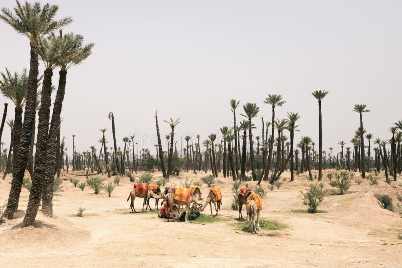 Cammelli che riposano accanto alle palme a Marrakesh, Marocco immagine stock libera da diritti