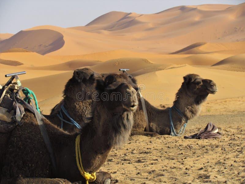 Cammelli che riposano al sole all'entrata del deserto del Sahara fotografia stock libera da diritti
