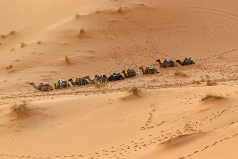 Cammelli che si siedono in una fila in deserto fotografie stock