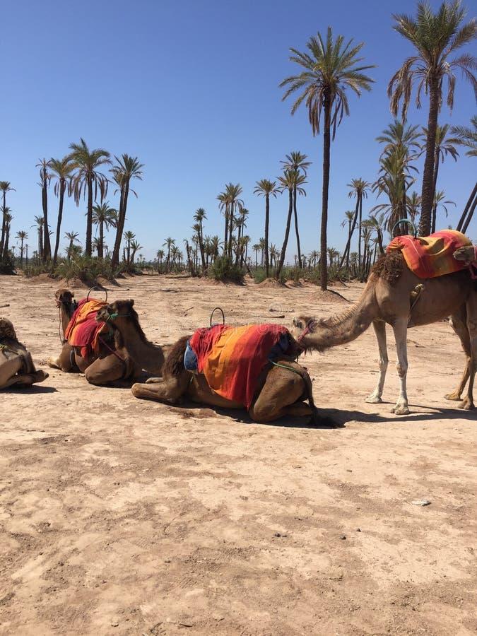 Cammelli e le sabbie del Marocco fotografia stock