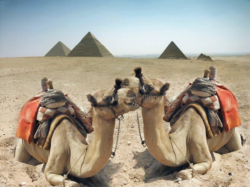 Cammelli e piramide nell'Egitto immagini stock