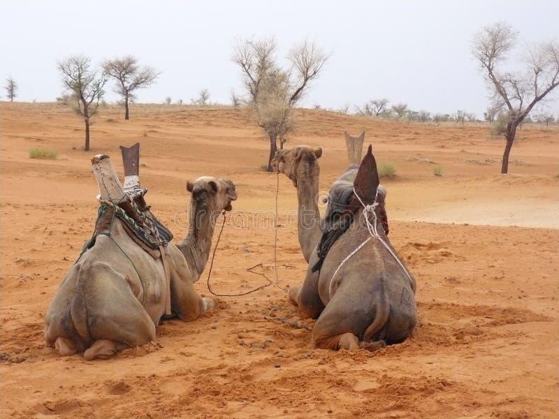 Cammelli nel Burkina Faso fotografia stock