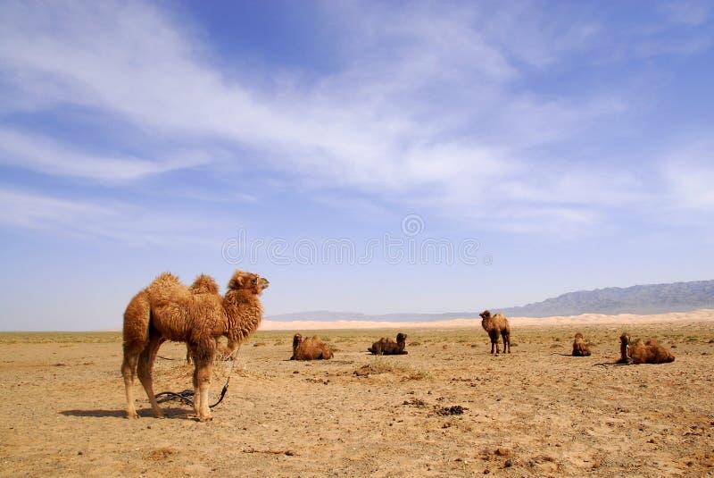 Cammelli nel deserto di Gobi, Mongolia fotografia stock libera da diritti