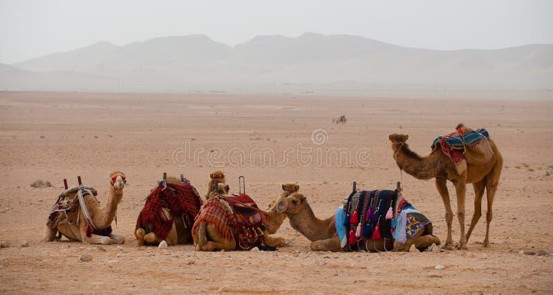 Cammelli nel deserto siriano fotografia stock libera da diritti