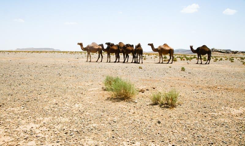 Cammelli nel Sahara nel Marocco fotografia stock libera da diritti