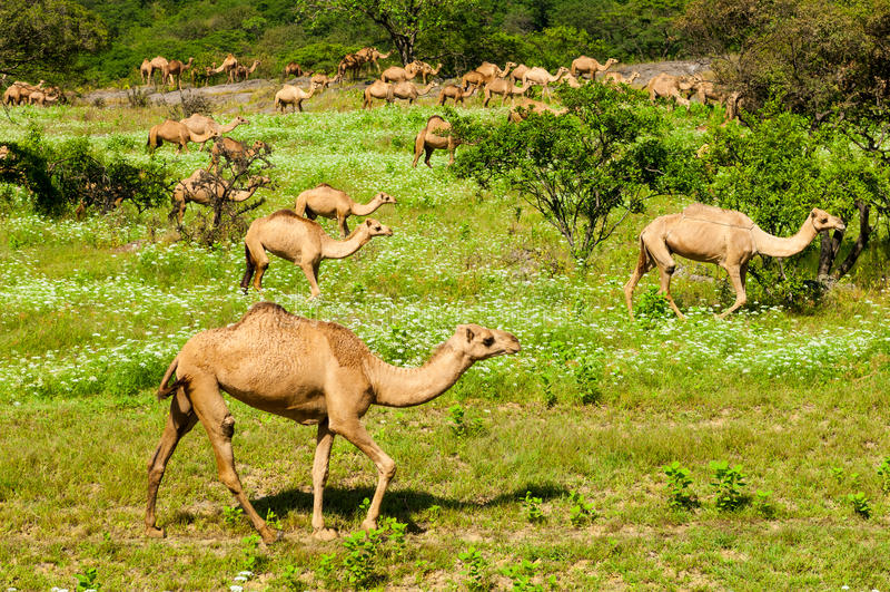 Cammelli selvaggi in Salalah, Dhofar, Oman fotografia stock