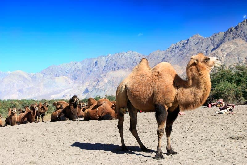 Cammelli sul deserto fotografie stock libere da diritti
