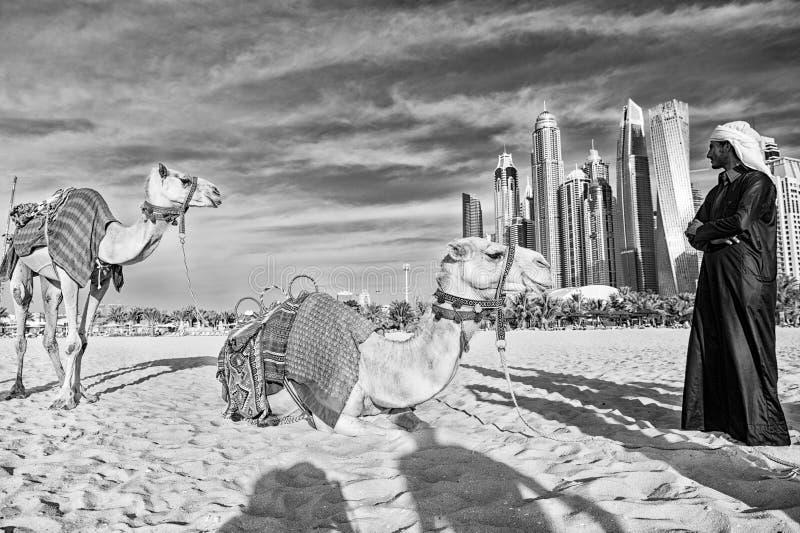 Cammelli sul fondo dei grattacieli alla spiaggia Stile della spiaggia del porticciolo JBR dei UAE Dubai: cammelli e grattacieli fotografia stock libera da diritti