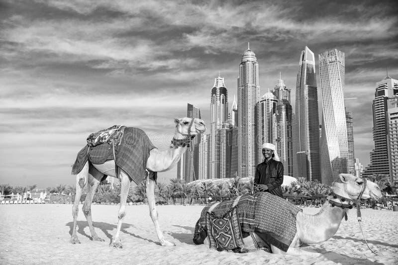 Cammelli sul fondo dei grattacieli alla spiaggia Stile della spiaggia del porticciolo JBR dei UAE Dubai: cammelli e grattacieli immagini stock