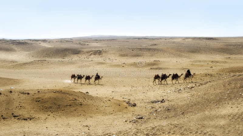 Cammelli sul plateau di Giza, Cairo, Egitto immagini stock
