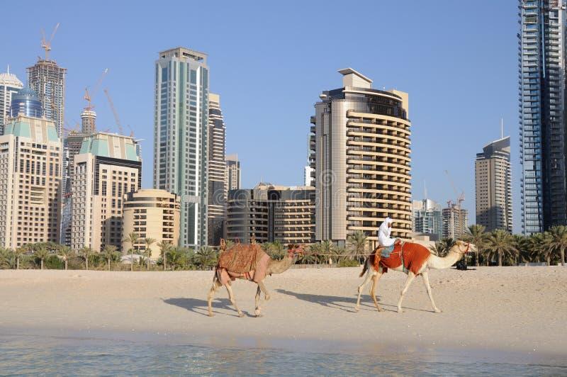 Cammelli sulla spiaggia in Doubai immagine stock libera da diritti