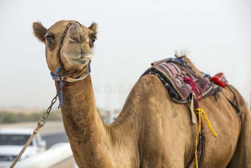 Cammello ad una pista di corsa nello sfregamento Al Khali Desert in Abu Dhabi immagine stock