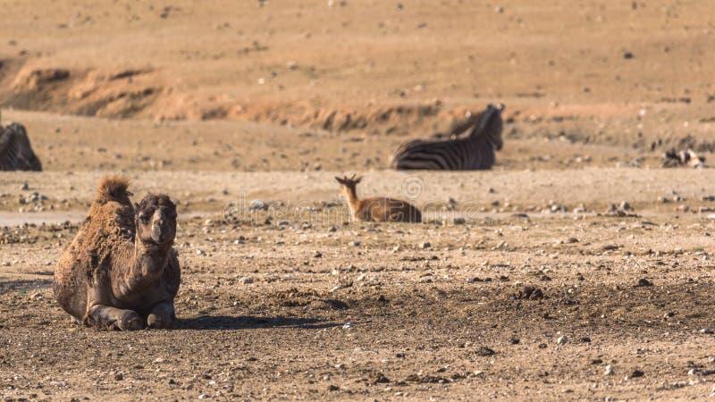 Cammello africano dentro una riserva di safari fotografie stock libere da diritti