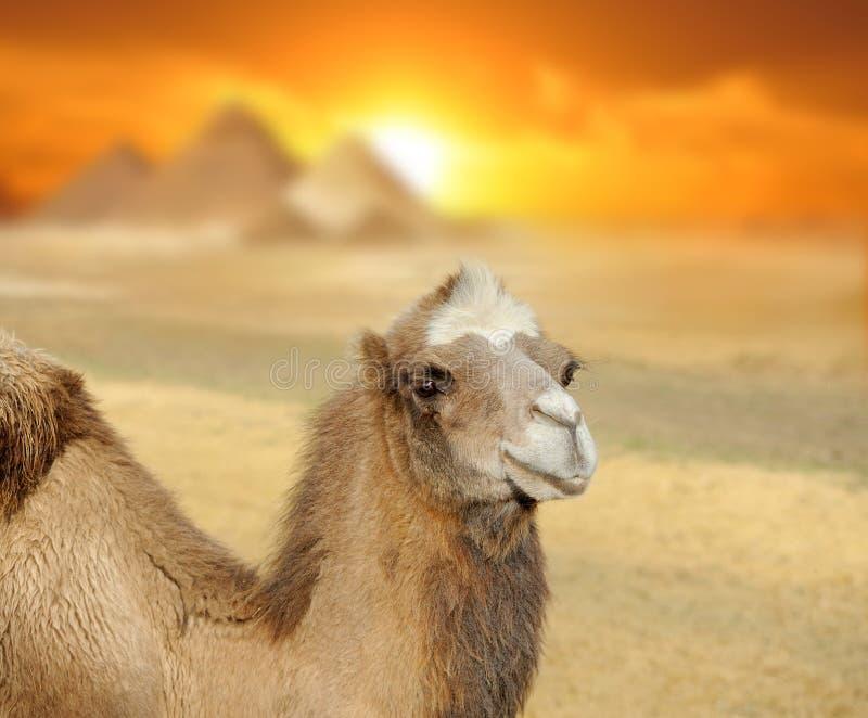 Cammello al tramonto fotografia stock libera da diritti