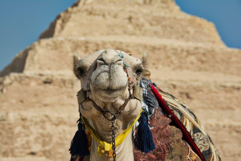 Cammello alla piramide di punto di Saqqara immagine stock