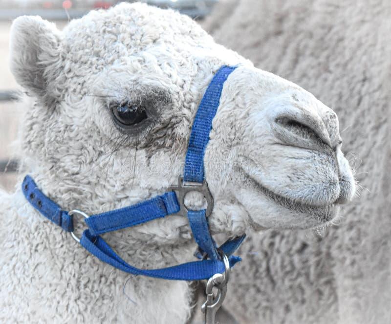 Cammello 'Arabian' di dromedary bianco, briglia blu fotografia stock