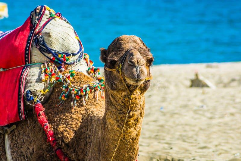 Cammello caricato sulla spiaggia marocchina sulla costa di mar Mediterraneo immagini stock libere da diritti