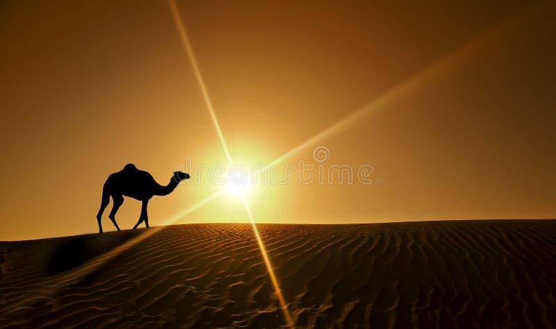 Cammello che cammina nel deserto del Dubai fotografie stock