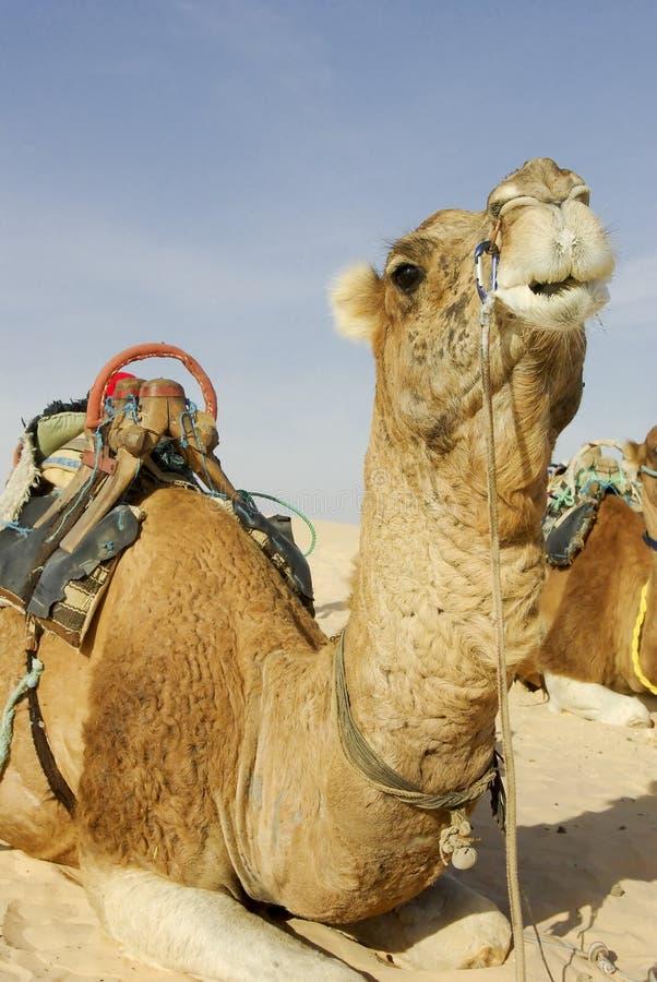 Cammello che riposa in sabbia fotografia stock