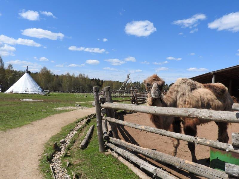 Cammello che riposa su un'azienda agricola nell'azienda agricola etnica, chiaro giorno, regione di Mosca fotografia stock libera da diritti
