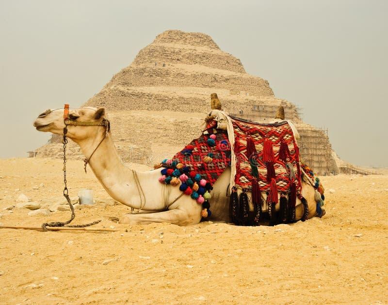 cammello davanti alla piramide fotografie stock
