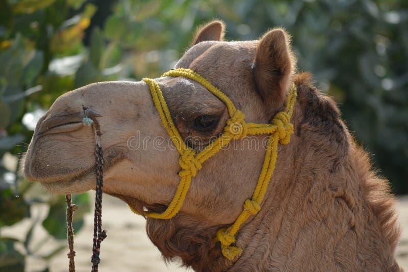 Cammello del deserto fotografie stock libere da diritti