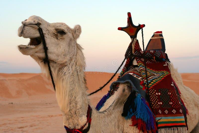 Cammello in deserto, primo piano immagini stock