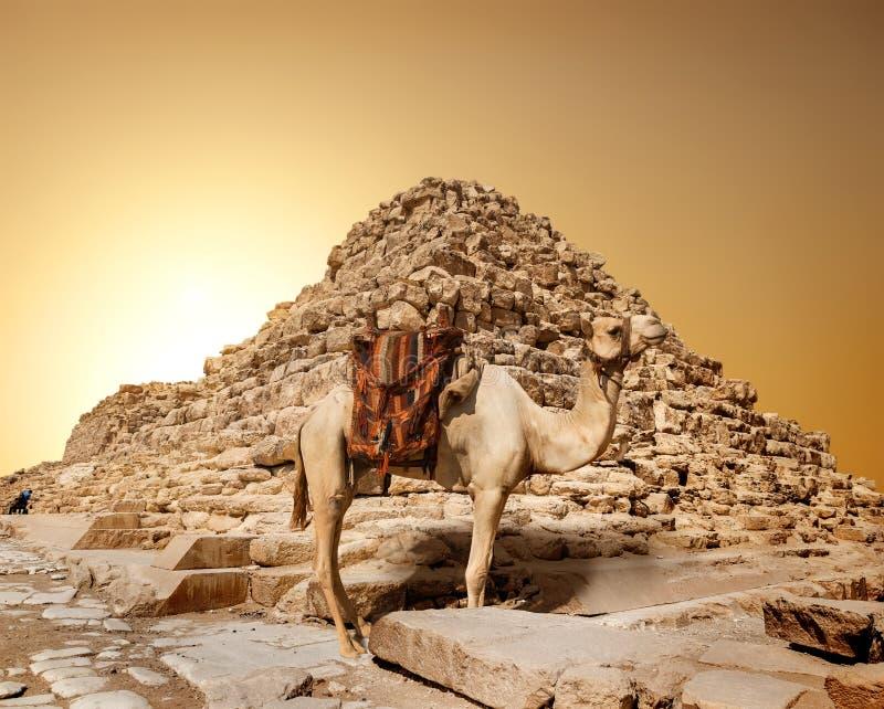 Cammello in deserto sabbioso fotografie stock