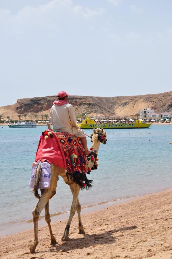 Cammello di guida dell'uomo lungo la spiaggia immagine stock libera da diritti