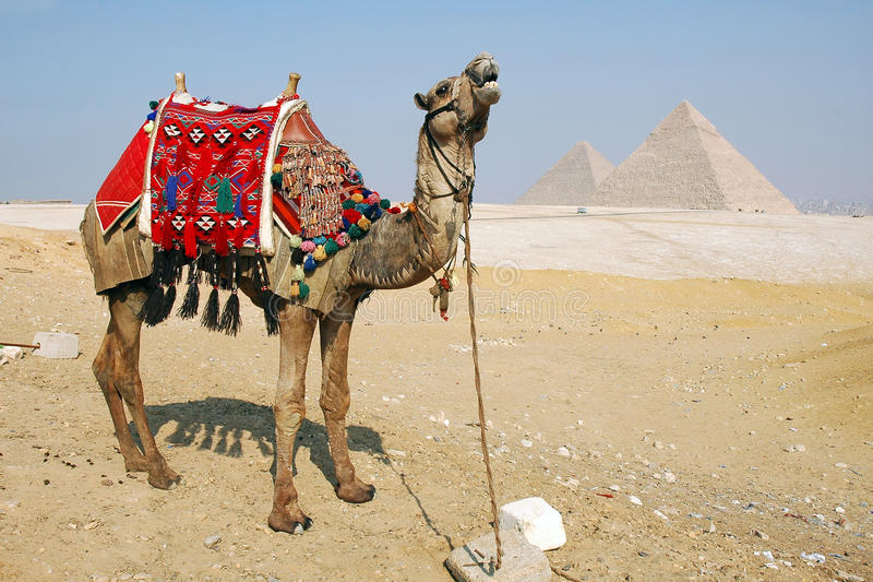 Cammello Egitto immagini stock libere da diritti