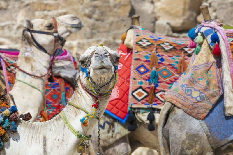 Cammello egiziano al fondo delle piramidi di Giza Attrazione turistica - fotografie stock
