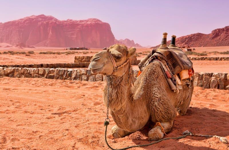 Cammello nel deserto fotografie stock