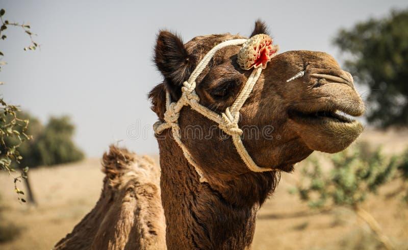 Cammello nel deserto del Thar, Ragiastan, India immagini stock libere da diritti