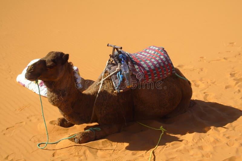 Cammello nel deserto di Sahara fotografia stock