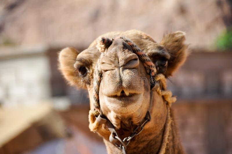 Cammello in rum dei wadi (Giordano) fotografie stock libere da diritti