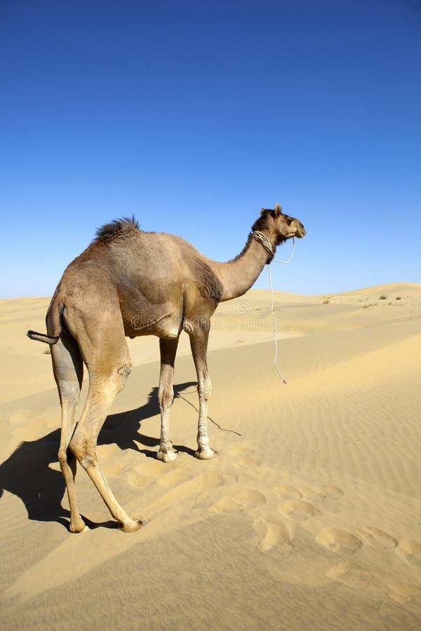 Cammello solo sulle dune di sabbia. fotografia stock