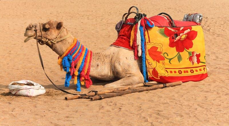 Cammello sul deserto fotografie stock libere da diritti