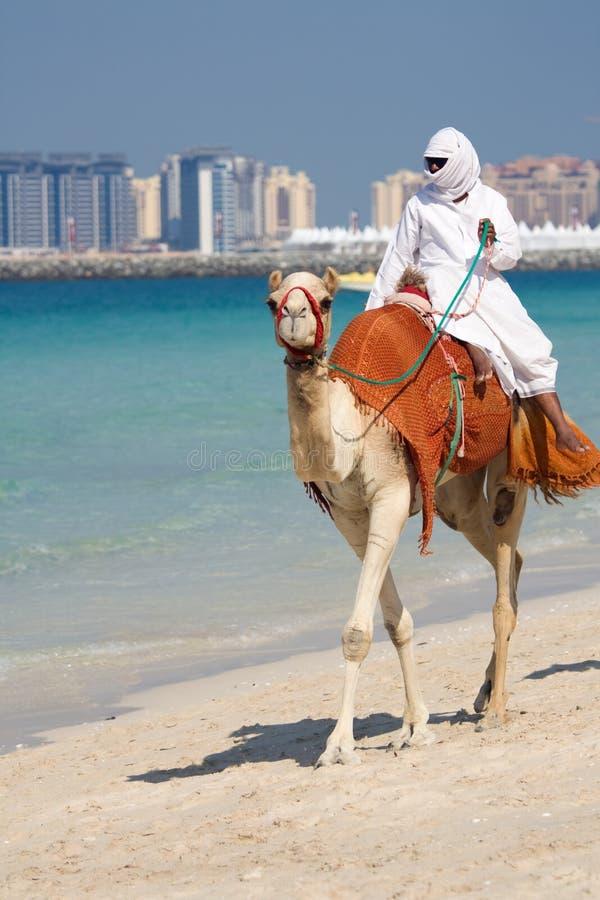 Cammello sulla spiaggia di Jumeirah, Doubai fotografia stock libera da diritti