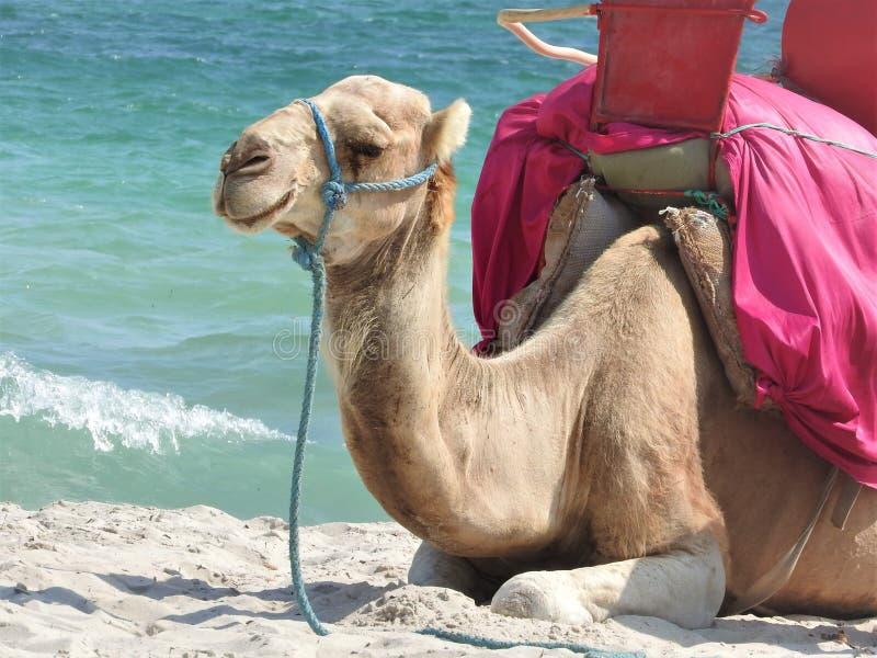 Cammello sulla spiaggia in Tunisia, Africa un chiaro giorno contro il mare blu fotografie stock