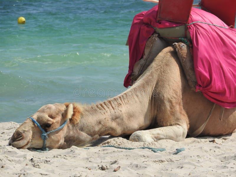 Cammello sulla spiaggia in Tunisia, Africa un chiaro giorno contro il mare blu fotografie stock libere da diritti