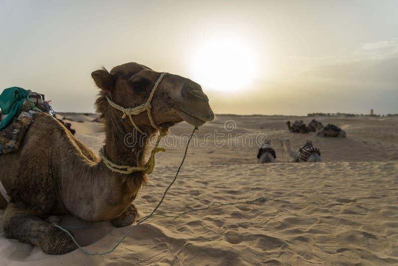 Download Cammello Tunisia fotografia stock. Immagine di nave, tramonto - 55362020
