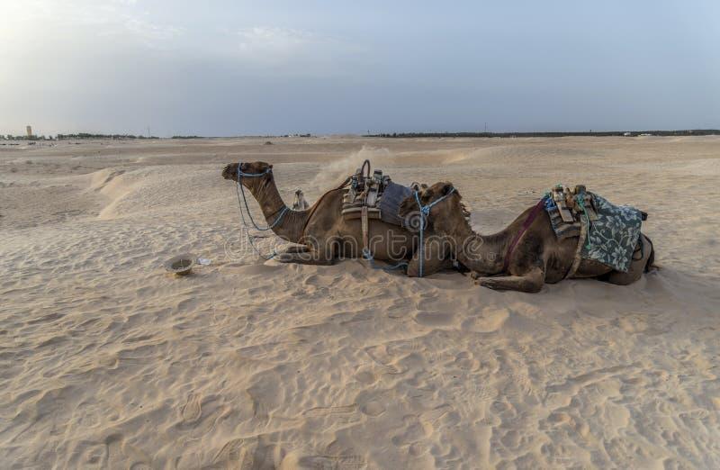 Download Cammello Tunisia fotografia stock. Immagine di alba, cheerful - 55362028