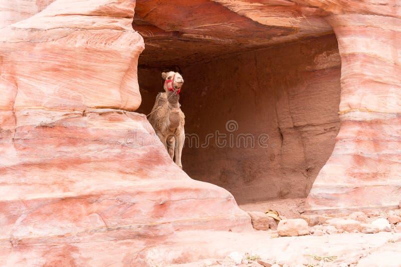 Cammello in una caverna della montagna fotografia stock libera da diritti