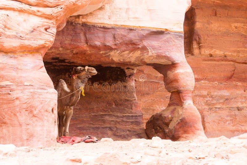 Cammello in una caverna della montagna fotografia stock