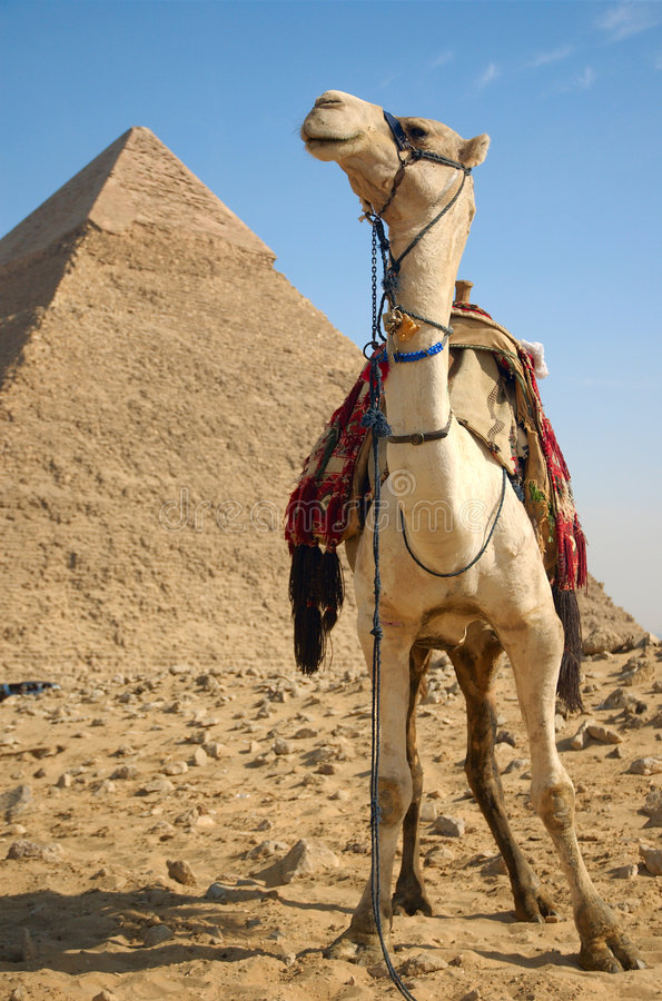 Cammello vicino alle piramidi immagine stock