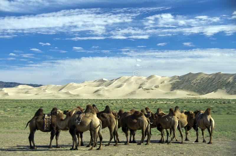 Cammels在虾虎鱼沙漠,蒙古 免版税库存照片