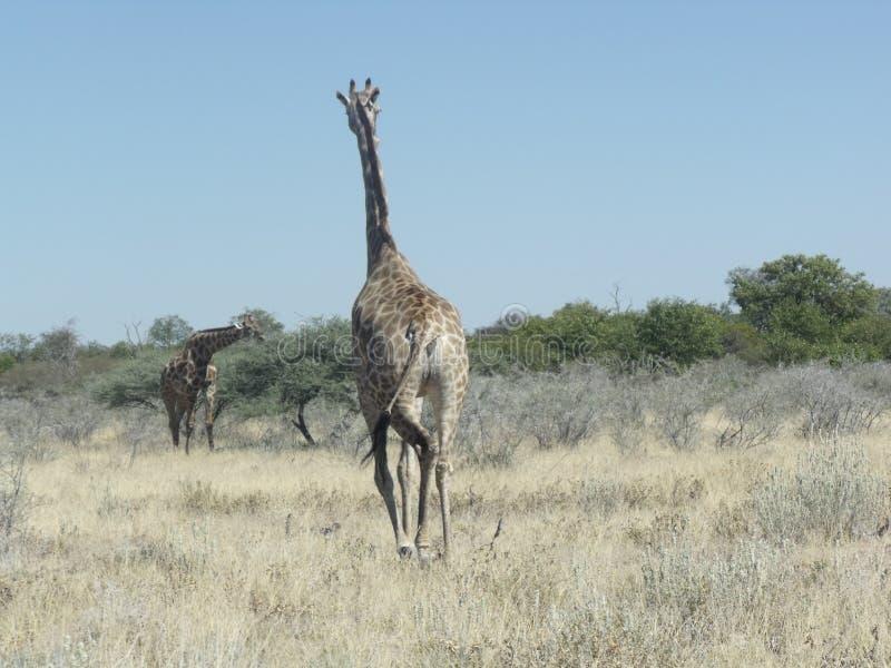 Camminando in Africa fotografia stock libera da diritti