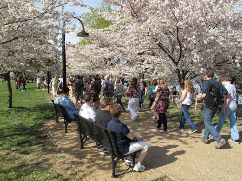 Camminando fra i fiori di ciliegia fotografia stock